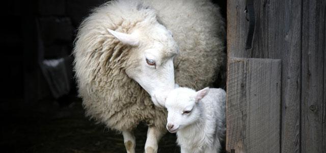 mother sheep and lamb