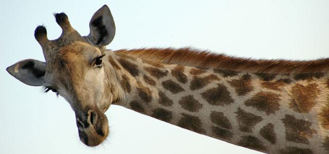 animals in entertainment zoo giraffe
