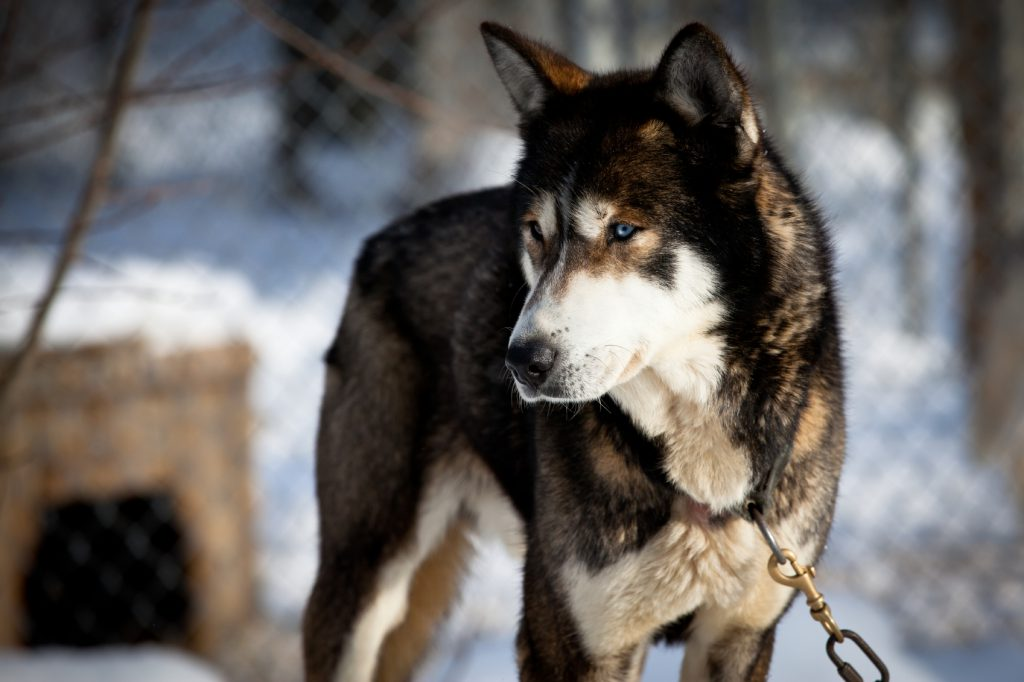 sled-dog-istock_000015556155medium