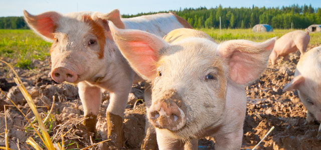 Pigs should be kept in humane conditions