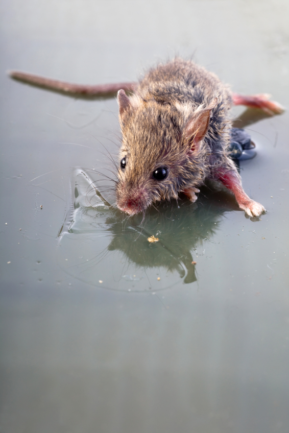 how to kill a mouse stuck in a trap