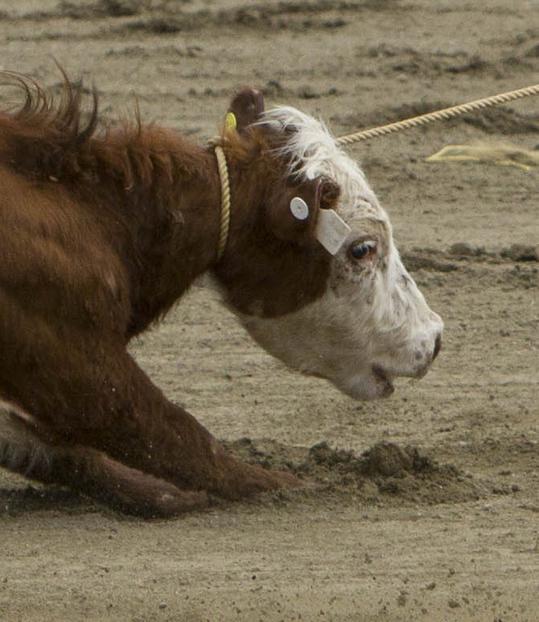 Calf face crop Rodeo-99