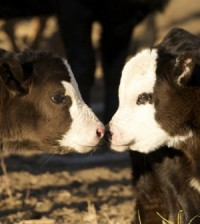 Two young black and white calves get to know each other.