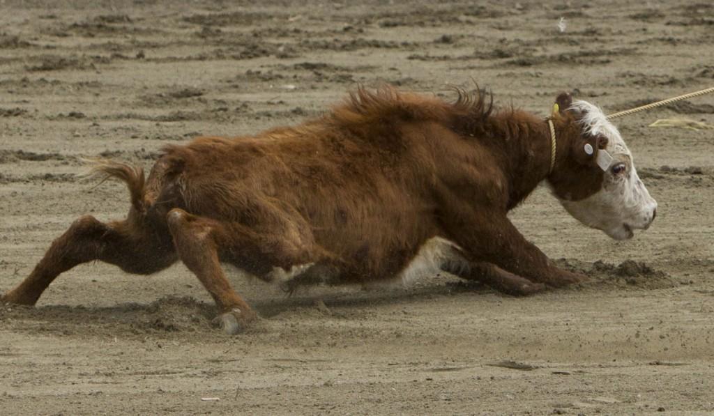 Luxton calf