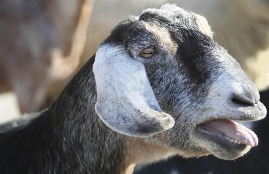 photo of animal Goat